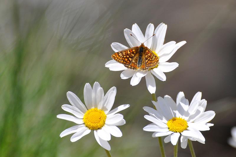 mariposas-valle-de-aran-albina-bosch