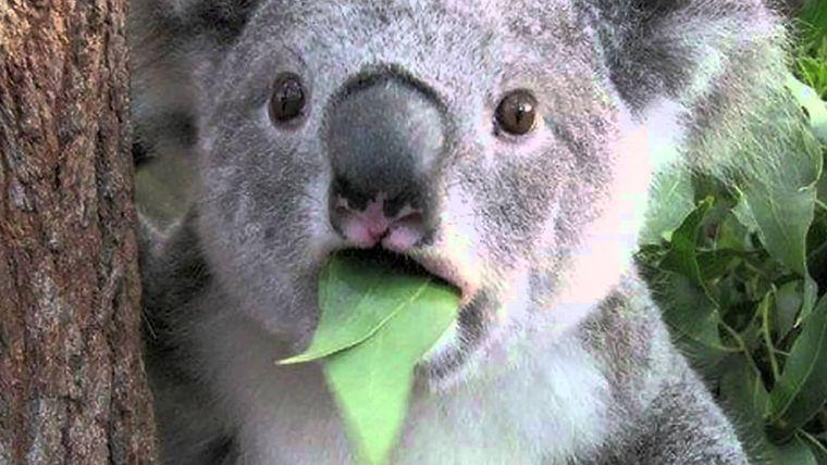 koala-eucalipto
