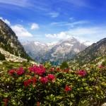 flores-silvestres-de-alta-montaña-Val-dAran-Albina-Bosch-01