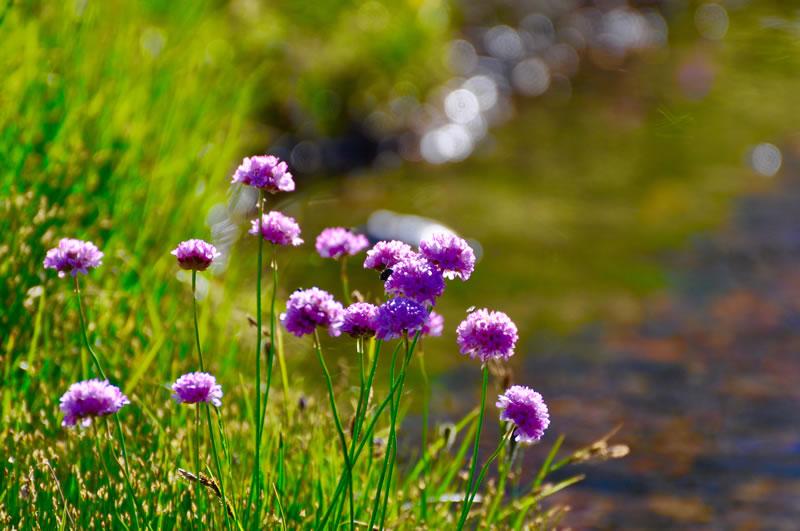 flores-silvestres-de-alta-montaña-Val-dAran-Albina-Bosch-06